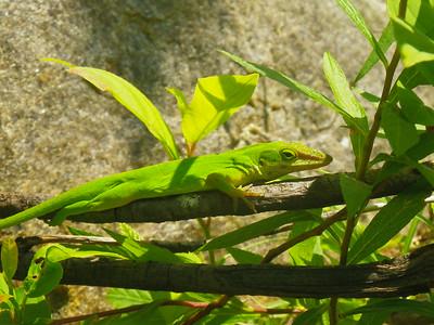 Anolis carolinensis carolinensis - Northern Green Anole