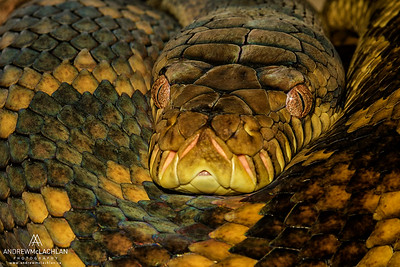 Scrub Python (Morelia amethistina) also known as an Amethystine Python- captive