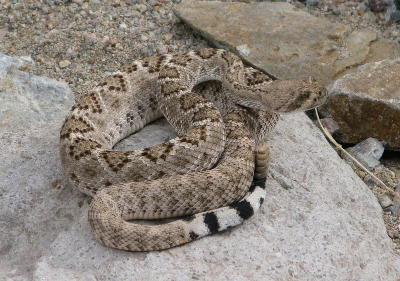 Western diamondback at the Old Reliable mine