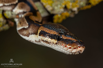 Royal Python (Python regius) - captive bred