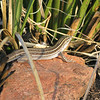 Gila whiptail in Yankee Joe canyon