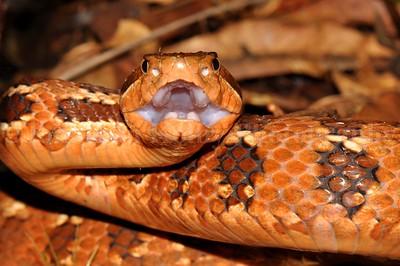 Godman's montane pit-viper (Cerrophidion wilsoni)