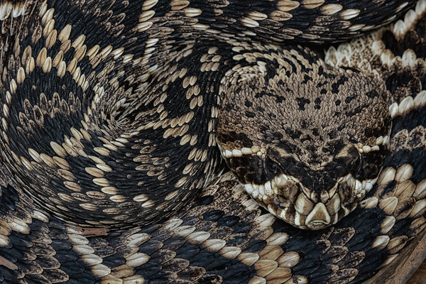 Young eastern diamondback rattlesnake