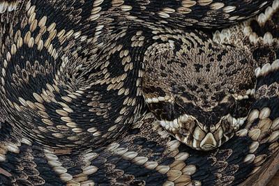 Young eastern diamondback rattlesnake