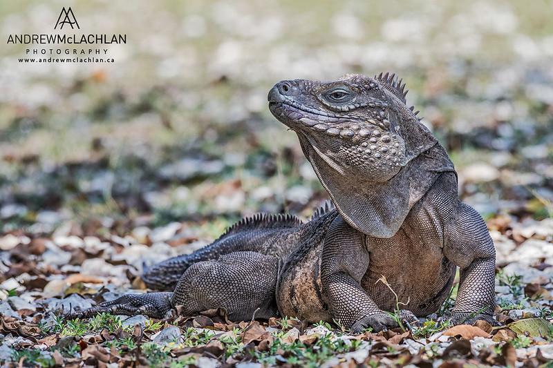 Cayman Brac Iguana (Cyclura nubila caymanensis)