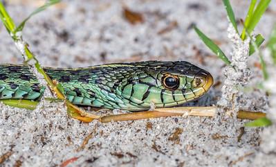 Blue-green garter snake