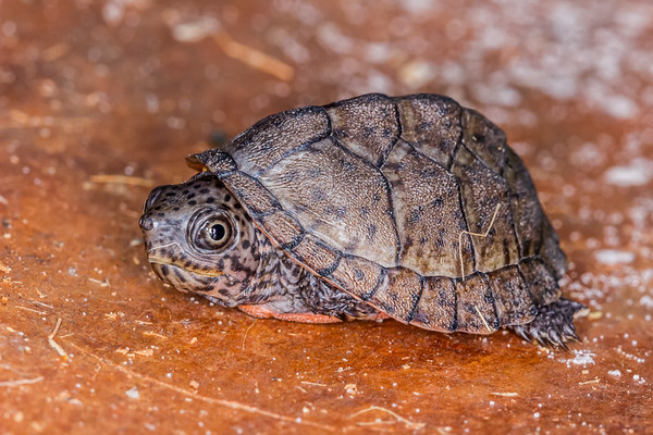 Baby loggerhead musk turtle