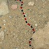Coral snake on Pinal Creek Rd. in Globe, 9-30-12