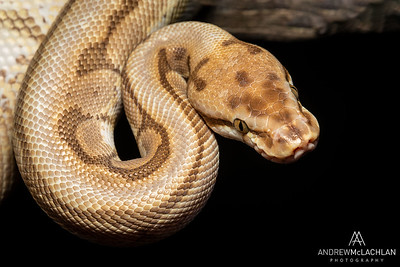 Royal Python (Python regius) - captive bred Spider Ball Python Morph