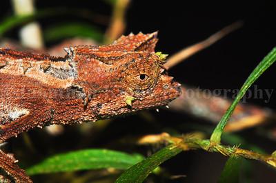 Madagascar Dwarf Chameleon (Brookesia superciliaris)