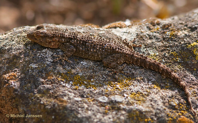 Tarentola mauritanica - Muurgekko - Moorish Gecko - Salamanquesa común