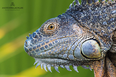 Green Iguana (Iguana iguana), Grand Cayman, British West Indies