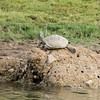 Indian Tented Turtle