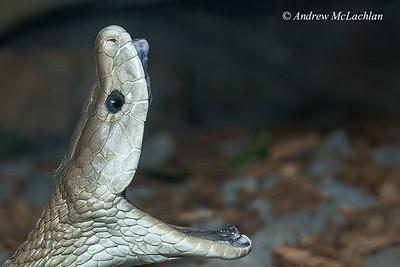Black Mamba (dendroaspis polylepis) - captive