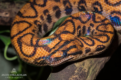 Rainbow Boa (Epicrates cenchria) - captive
