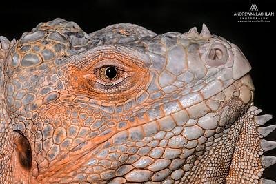 Green Iguana (Iguana iguana) - captive