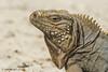 Rock Iguana on Cayman Brac