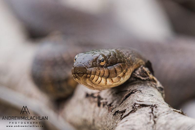 Northern Water Snake (Nerodia sipedon) in Muskoka, Ontario, Canada