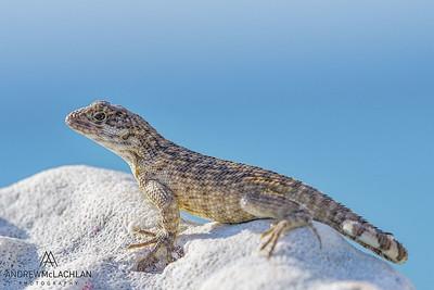 Sister Islands Curly-tailed Lizard (Leiocephalus carrnatus granti)