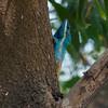 Blue Lizard (Calotes mystaceus<br /> )