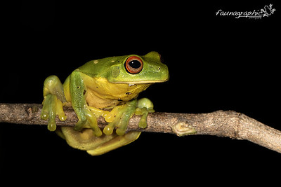 Red Eyed Green Tree Frog
