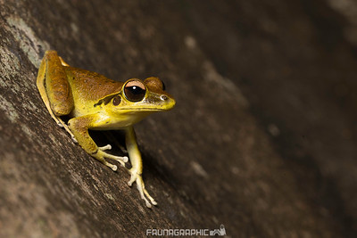 Northern Stony Creek Frog