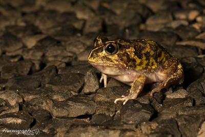 Suddel's Frog