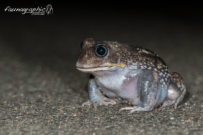 Giant Burrowing Frog