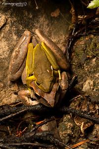 Eastern Stony Creek Frogs (in amplexus)