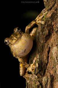 Perons Tree Frog