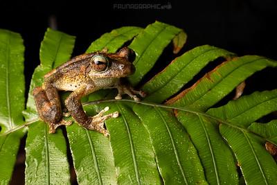 Kuranda Tree Frog