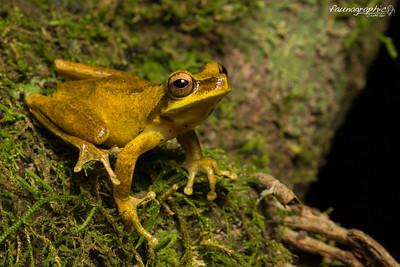 Whirring Tree Frog