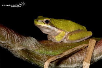 Sedge Frog (Eastern Dwarf Frog)