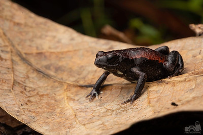 Copper-backed Toadlet