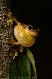 Laughing Tree Frog