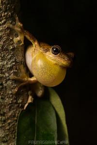 Laughing Tree Frog