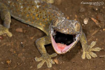 Tokey Gecko