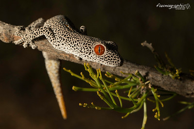 Golden Tailed Gecko