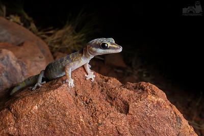 Gulf Velvet Marbled Gecko