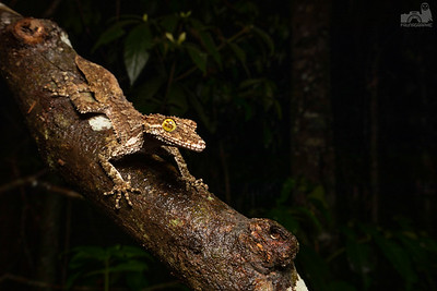 Northern Leaf Tailed Gecko