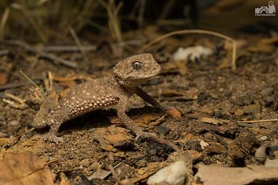 Prickly Knob-tailed Gecko