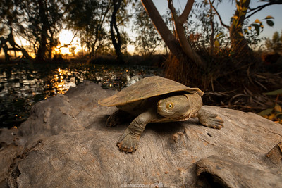 Cooper Creek Turtle