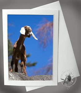 Baby Goat ANI101