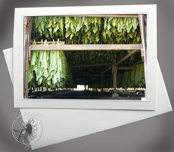Tobacco Shed interior FAR115