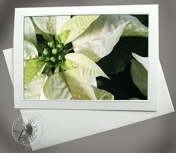 White Poinsettia FLW037