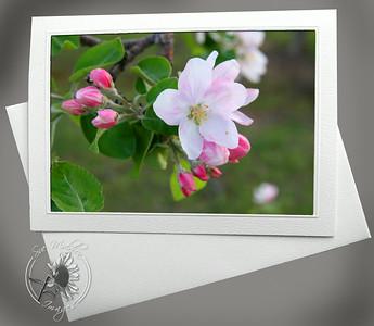 Apple Blossom FLW003