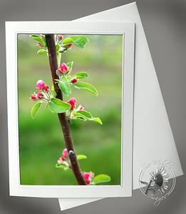 Apple Blossom buds FLW002