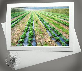 Strawberry Fields FAR113