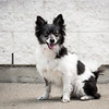 Oreo - Ottawa Dog Rescue