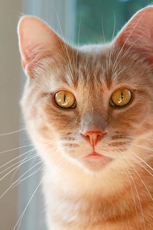 Orange tabby with beautiful orange eyes